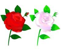 Vita rosor som är röda och Arkivfoto