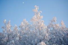 Vita rtrees i snö Royaltyfri Foto
