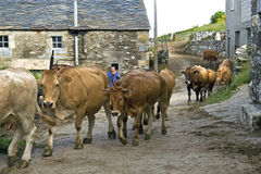 Vita rurale spagnola, vista della via con la mucca di passeggiata Fotografia Stock