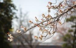 Vita sakura blommar på en filial Arkivfoto