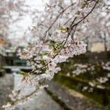 Vita sakura blommar på en filial Royaltyfria Foton