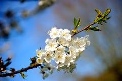 Vita sakura i den blåa himlen Royaltyfri Foto