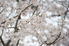 Vita sakura i Japan arkivbild