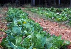 """Vita sana e locale del villaggio che mangiano pezzo di terra coltivato al cavolo del †"""" Fotografie Stock"""
