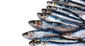 vita sardines Arkivbild
