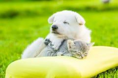 Vita schweizare valler valpen för ` som s sover med kattungen på kudden royaltyfri foto