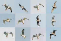 Vita Seagulls för flyg i himmel Ställ in foto Royaltyfri Foto