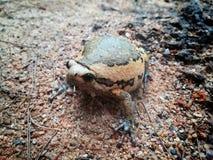 Vita selvaggia ed animale di rana catesbeiana della rana toro e del rospo e stile alle attrazioni turistiche della cima del ` s d immagine stock libera da diritti
