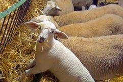 Vita sheeps som äter hö, solig dag, lantgård arkivbilder