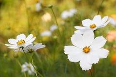 Vita skönhetblommor Royaltyfri Bild