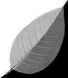 vita skelett- åder för abstrakt svart leaf Arkivbilder