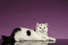 Vita skotska raka Kitten Lies på lilor arkivfoto