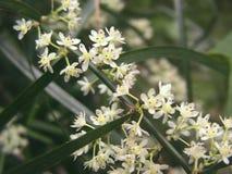 Vita små blommablomningar Arkivbilder