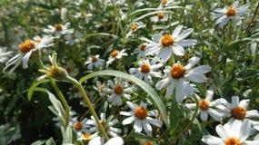 Vita små blommor Royaltyfria Bilder