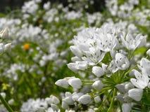 Vita små blommor Royaltyfri Fotografi