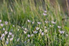 Vita små blommor i gräset Bakgrund Härlig backgrou Arkivbild