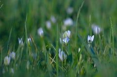 Vita små blommor i gräset Bakgrund Härlig backgrou Arkivfoto