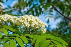 Vita små blommor med sidor Royaltyfri Fotografi