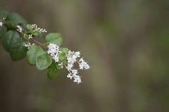Vita små blommor på bakgrund för skoggräsplan Arkivfoto