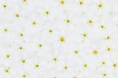 Vita små blommor på vattnet överkant yellow för modell för hjärta för blommor för fjärilsdroppe blom- Gifta sig vårbakgrund Makro Royaltyfria Foton