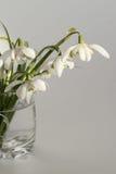 vita snowdrops Fotografering för Bildbyråer