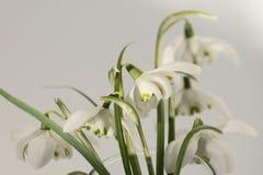 vita snowdrops Arkivbilder