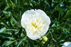 Vita sommarställen för pionblommasammet Royaltyfri Bild