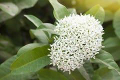 Vita Spike Flower royaltyfri foto