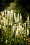 Vita Spike Flower Arkivfoton