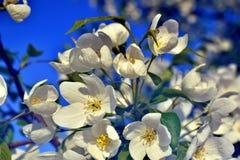 Vita stora blommor av äppleträdet Arkivbilder