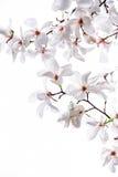 Vita stora blommor av den vita magnolian Royaltyfri Fotografi