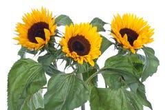 vita stora isolerade solrosor Royaltyfria Bilder