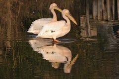 vita stora pelikan för par arkivfoton