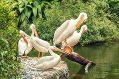 Vita stora pelikan som vilar på kusten av sjön arkivfoton