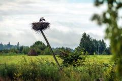 Vita storkar som bygga bo i Lettland Fotografering för Bildbyråer