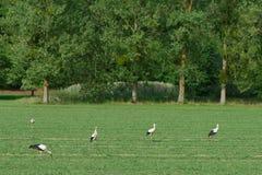 Vita storkar som går på ett grönt fält royaltyfri foto