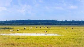 Vita storkar som vilar på ett gult fält på sommardagen arkivbild