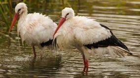 vita storks Arkivfoto
