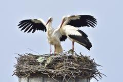 vita storks arkivfoton