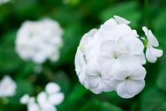 Vita Streptocarpusblommor i kolonin eller odlingträdgården eller parkerar för garnering sikten med kopieringsutrymme och detaljen Arkivbild
