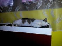 Vita strimmig kattlögner för katt och sova på uppvärmning under fönster royaltyfri foto