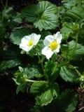 Vita strowberry blommor Arkivbild