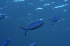Vita subacquea: pesci tropicali Immagine Stock