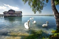 Vita svanar fotografering för bildbyråer