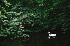 Vita svanar av den Nymphenburg slotten arkivbild