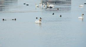 Vita svanar för produktion av mat i Bulgarien Royaltyfri Fotografi