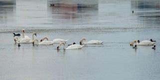 Vita svanar för start i sjön i Pomorie, Bulgarien Arkivfoton