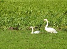 Vita svanar i äng arkivfoton