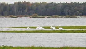 Vita svanar i flodfält arkivbild