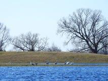 Vita svanar i flodfältet, Litauen royaltyfria foton